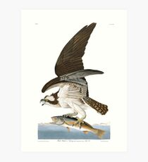 Osprey - John James Audubon Art Print