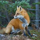 Red fox in Algonquin Park by Jim Cumming