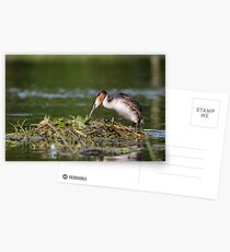 Great Crest Grebe (Podiceps cristatus) Postcards