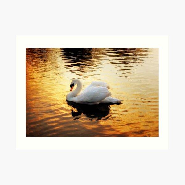 Swan At Sundown Art Print
