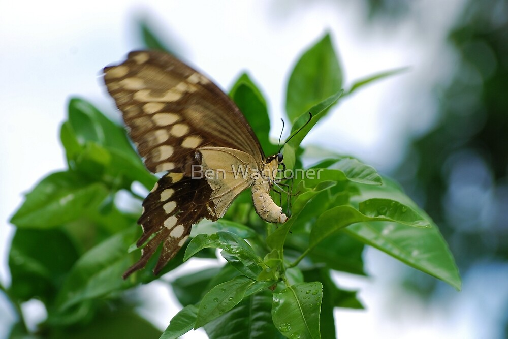 Yellow butterfly on orange tree by Ben Waggoner
