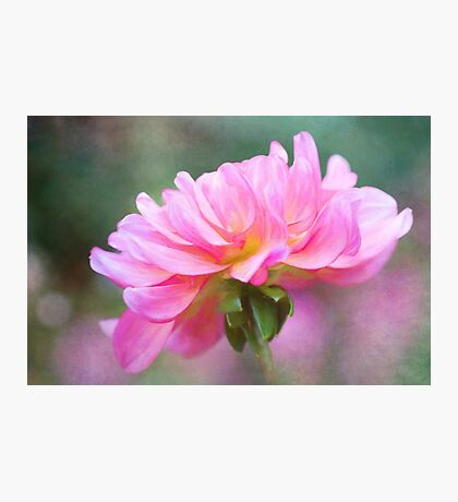 Painted Pink Dahlia  Photographic Print