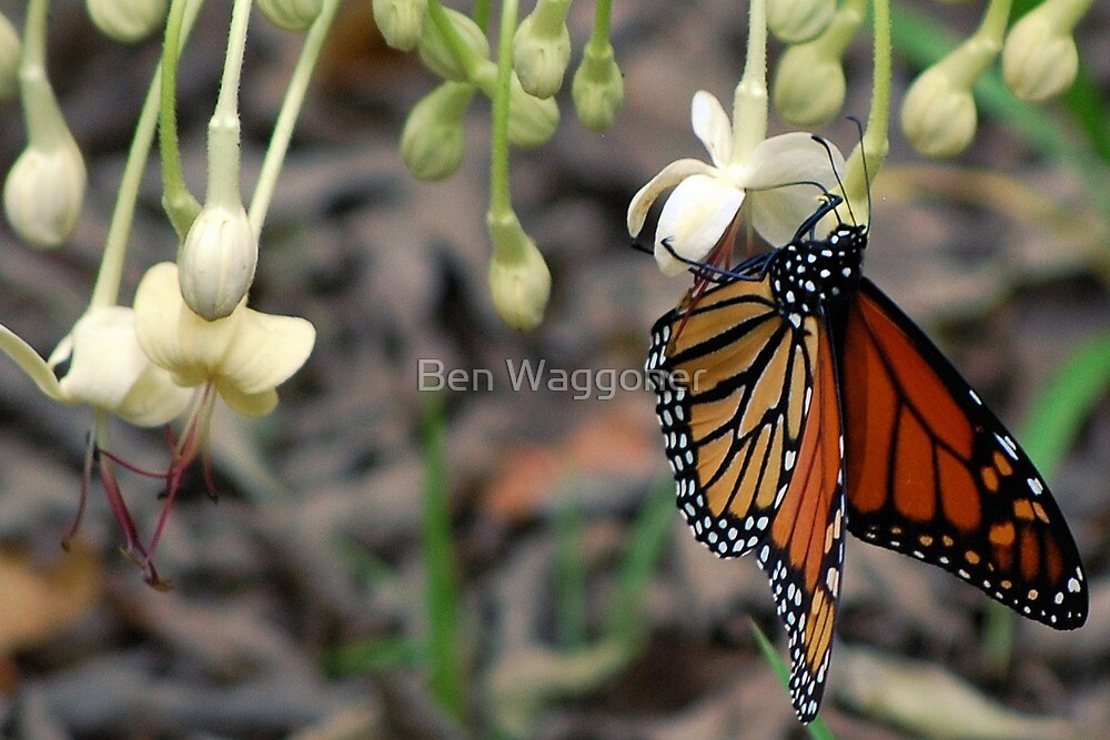 Monarch on a butterfly bush by Ben Waggoner