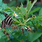 Zebra longwing on Spanish Needles by Ben Waggoner