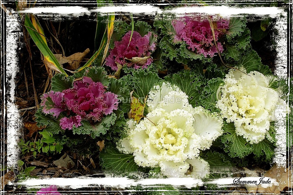 Flowering Kale ~ Ornamental Cabbage by SummerJade