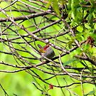 Red - Browed Finch by W E NIXON  PHOTOGRAPHY