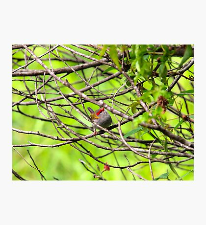 Red - Browed Finch Photographic Print