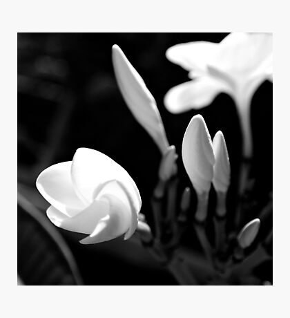 My Plumeria Tree Photographic Print