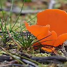 Orange Peel fungus , Aleuria aurantia by relayer51
