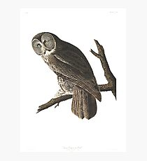 Great Gray Owl -  Photographic Print