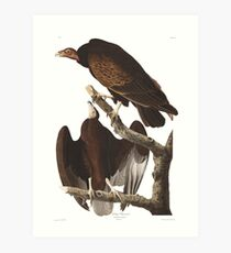 Turkey Vulture - John James Audubon Art Print