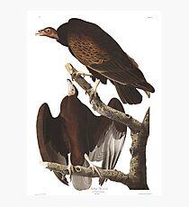 Turkey Vulture - John James Audubon Photographic Print