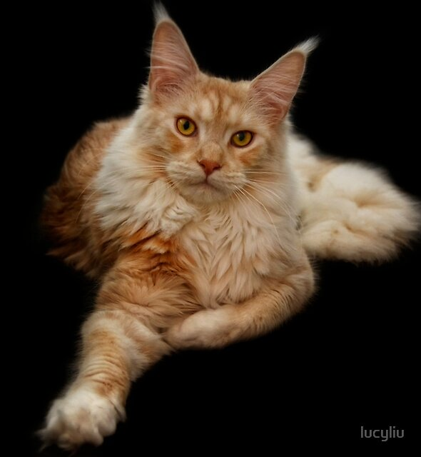Maine Coon Lady by lucyliu
