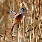 A male Bearded Tit in autumn sunshine by Martin Lawrence