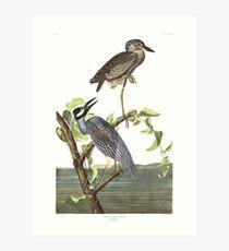 Yellow-crowned Night-Heron - John James Audubon Art Print