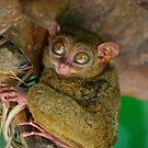 The Philippine Tarsier by robigeehk