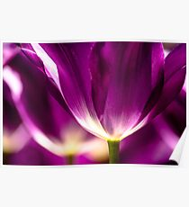 Under a Purple Tulip. Color photo by Wanda Lotus. Poster