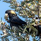 Yellow-tailed black cockatoo by Will Hore-Lacy