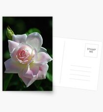 Pinkish rose Postcards