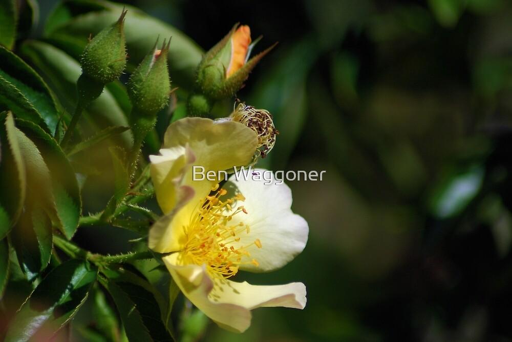 Yellow wild rose by Ben Waggoner