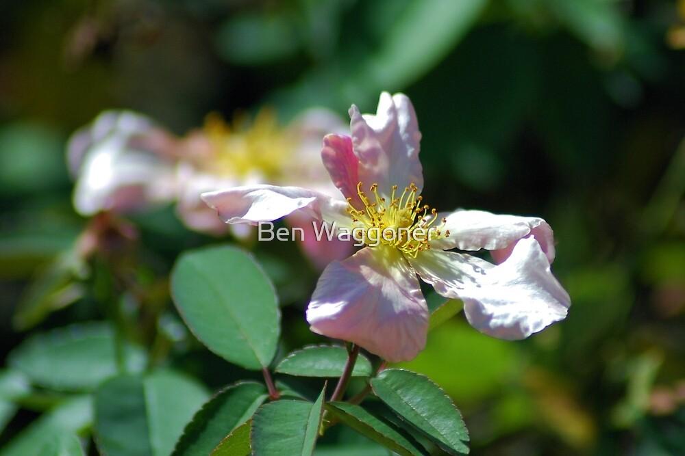 Pink wild rose by Ben Waggoner