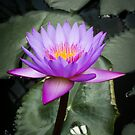 A purple flower on water lilies by Anthony Carrick