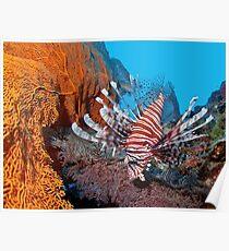 Red Lionfisch - Pazifischer Rotfeuerfisch Poster