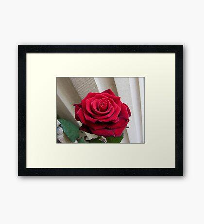 A beautiful rose Framed Print
