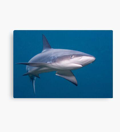 Galapagos Shark Canvas Print