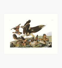 Northern Bobwhite - John James Audubon Art Print