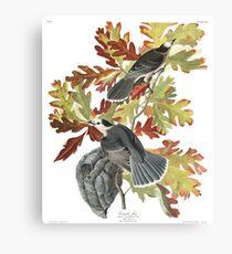 Gray Jay - John James Audubon  Canvas Print