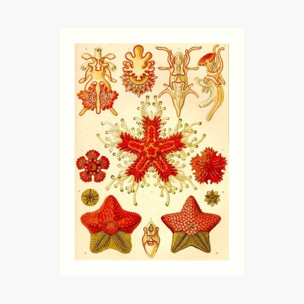 Starfish - Ernst Haeckel  Art Print