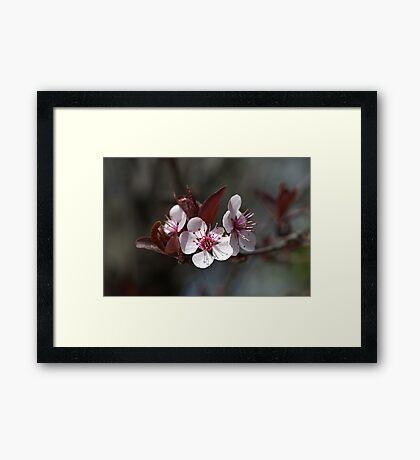 Trio of pink Blossom Framed Print