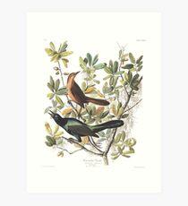 Boat-tailed Grackle - John James Audubon Art Print