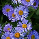 Alpine Asters by David Kocherhans