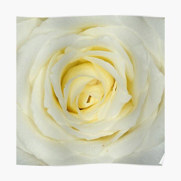 weiße Rose Poster