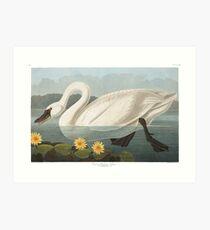 Tundra Swan - John James Audubon  Art Print