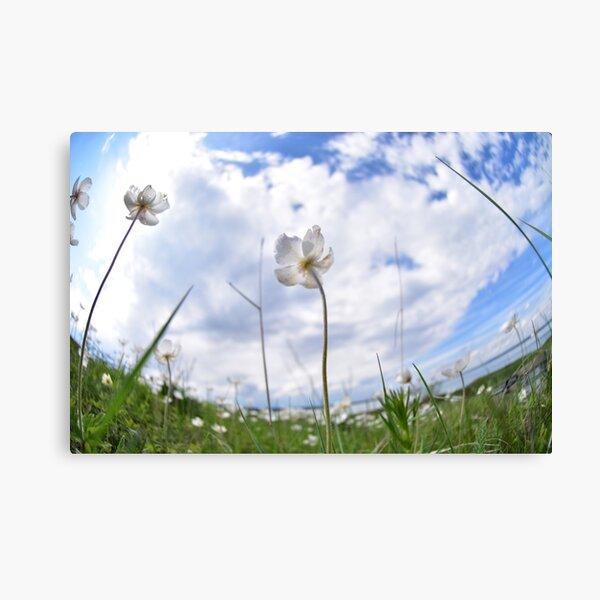 White Anemone by the lake Canvas Print