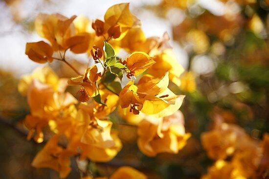 The Colour Orange - Bougainvillea by Carole Anne Ferris