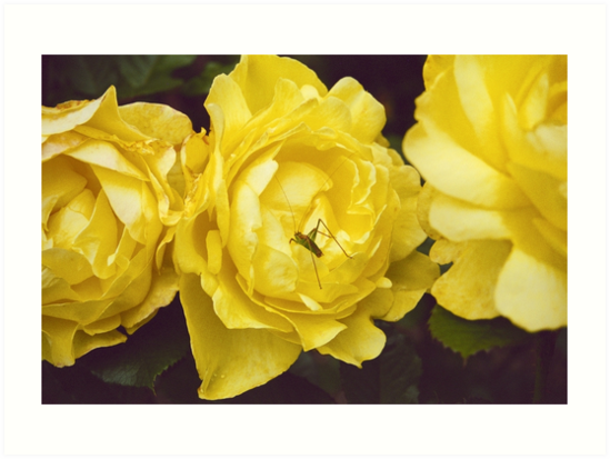 The Colour Yellow - Roses by Carole Anne Ferris