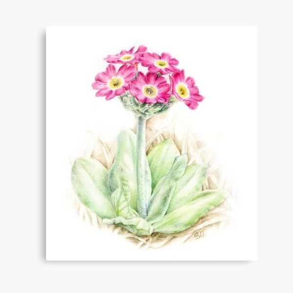 Primrose pink primula scotica Canvas Print