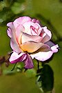 Pink Rose watercolour by PhotosByHealy