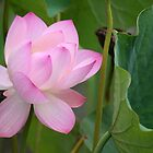Lovely Lotus  by WalnutHill