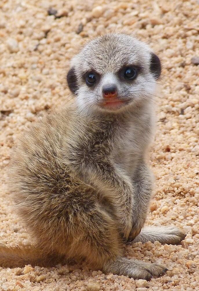 Demure Baby Meerkat by Margaret Saheed