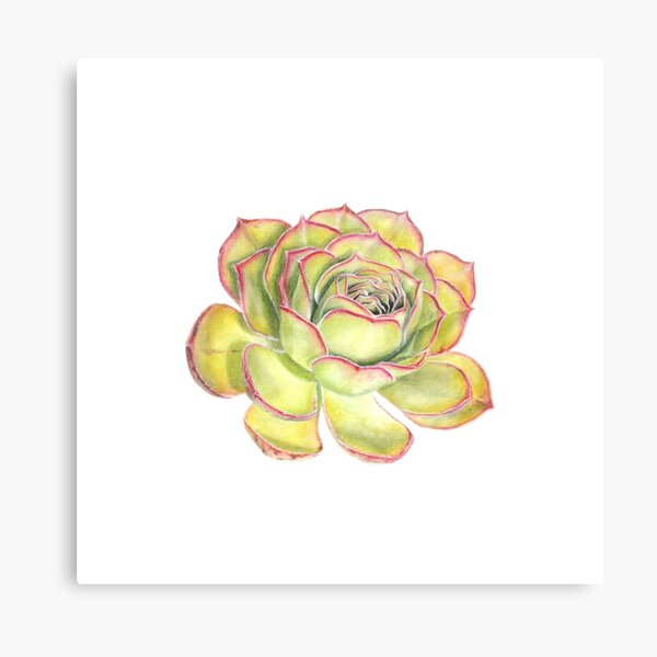 Green & Pink Succulent Flower Original Botanical Artwork by Lisa Kewley Canvas Print