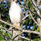 Grey Goshawk by triciaoshea