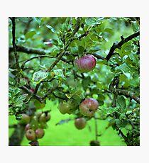 Apple Tree In The Rain Photographic Print