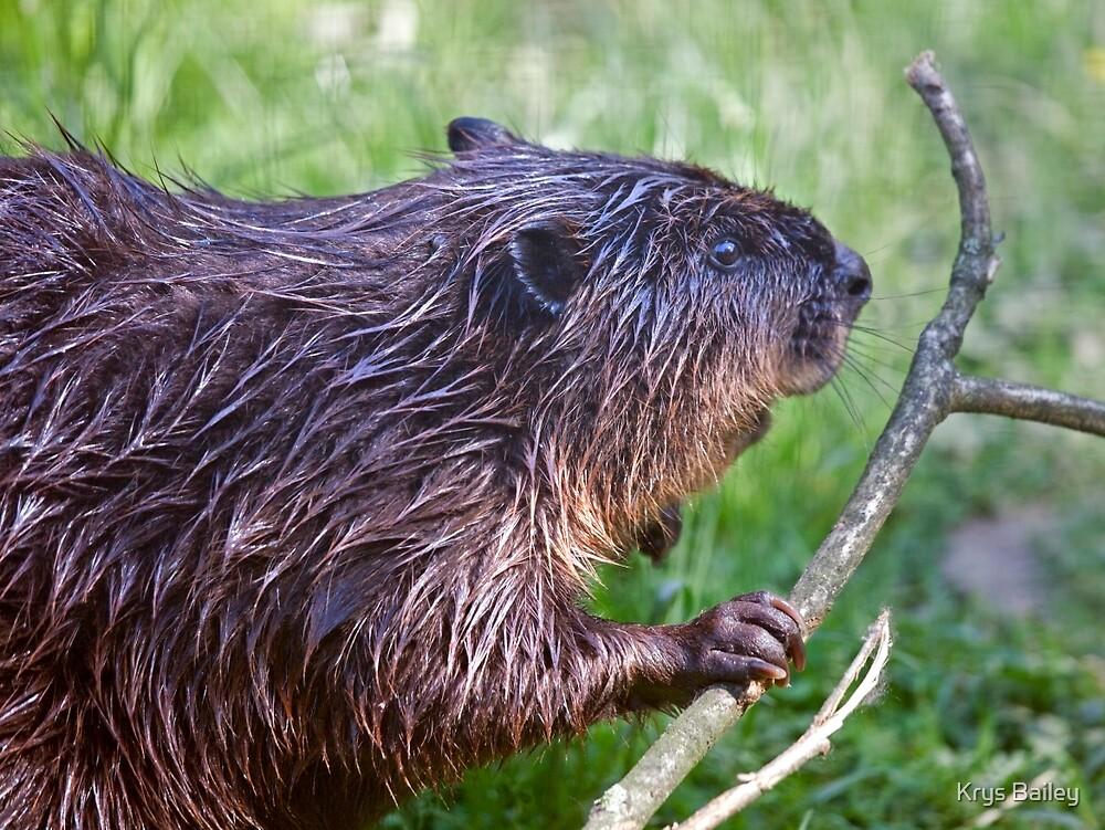 Eager Beaver by Krys Bailey