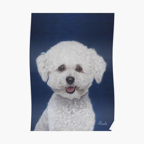 Bichon frisé portrait Poster