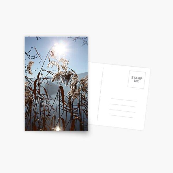 Misty Reeds Postcard